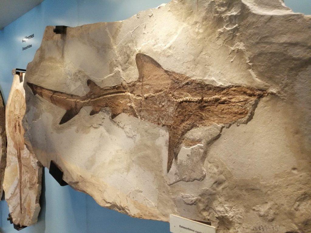 Fossili di Bolca